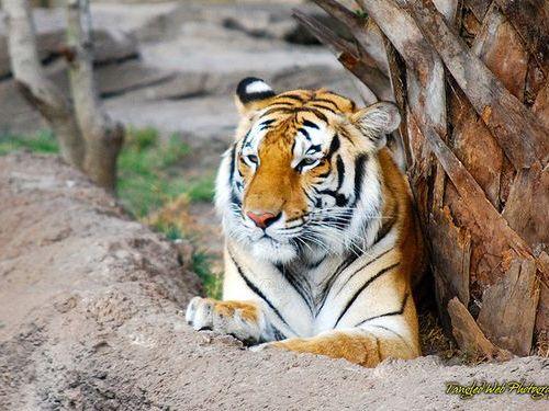 虎と綱引き00