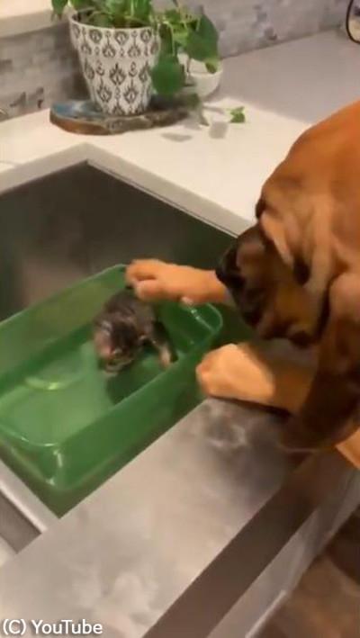 子猫を見た犬の反応が可愛すぎ02
