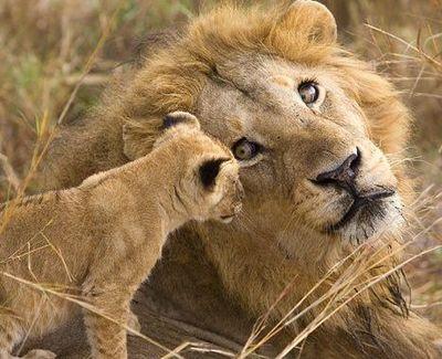 ライオン02