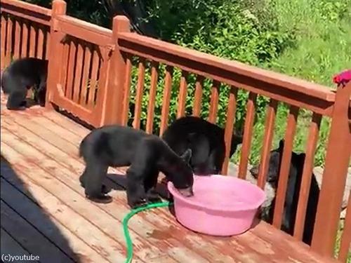 子クマ3匹が家の中に入り込んだ05