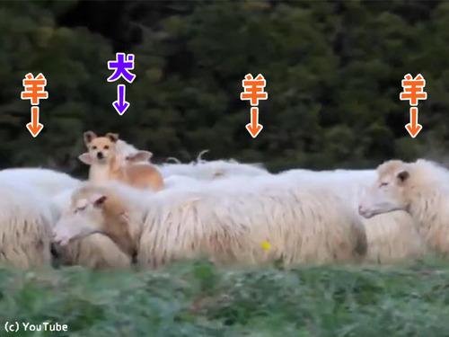 落ち着き過ぎな牧羊犬00