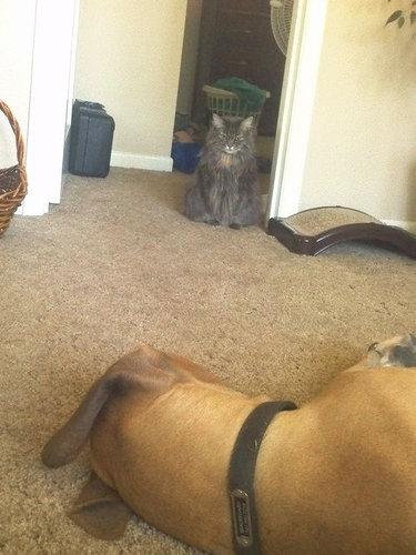 わが家に子犬が来たときの猫の表情04