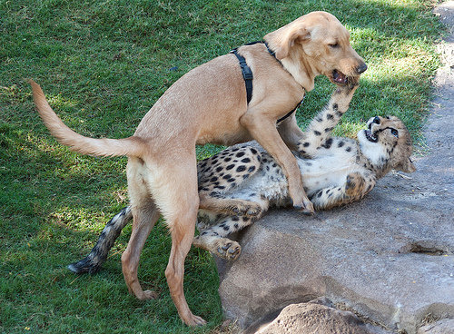 チーターと犬の友情07