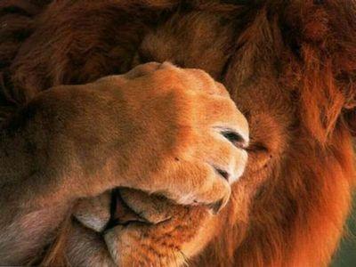 目を隠すライオン