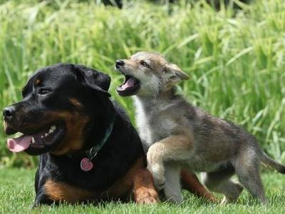 犬に育てられたオオカミ00
