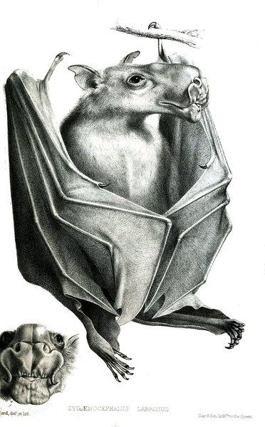 ウマヅラコウモリ01