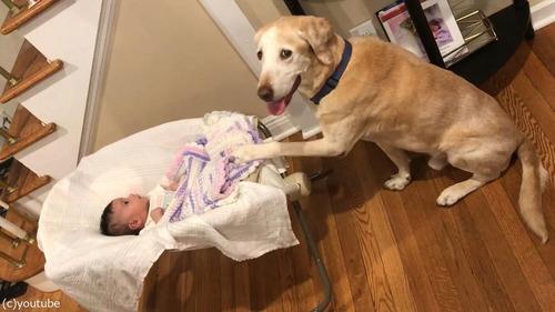 赤ちゃんのゆりかごを揺する犬02