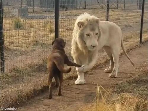 紳士なホワイトライオン06
