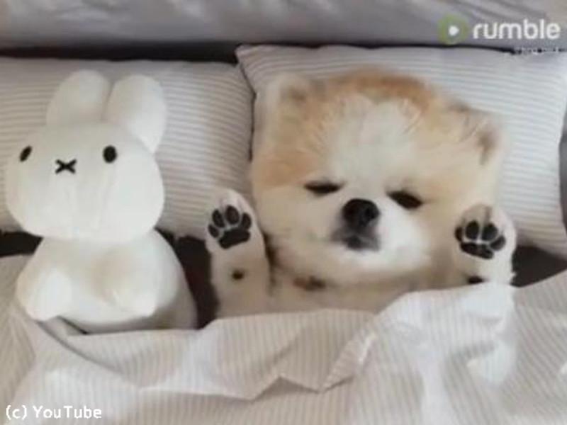 こんなにかわいい寝相のポメ見たことある?(動画)  らばQ