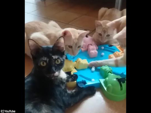 テーブルゲームで遊ぶ猫たち00