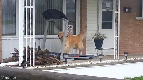 梅雨の時期は自分で散歩するワン02