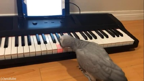 ペットのインコ、キーボード奏者になる03