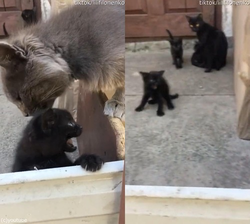 子猫のパパ、ママに叱られる01