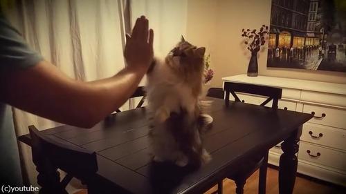 ハイタッチしてくれる猫様05