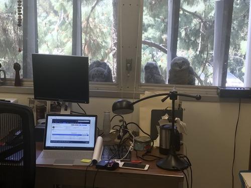 オフィスの窓の外で生まれたフクロウたち01