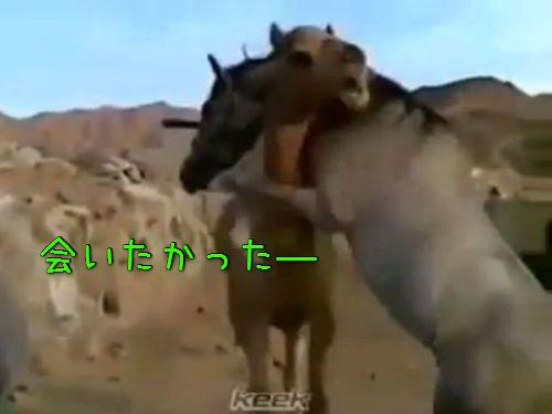 ラクダと馬の再会00