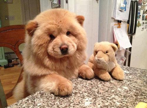 テディベアそっくりな子犬12