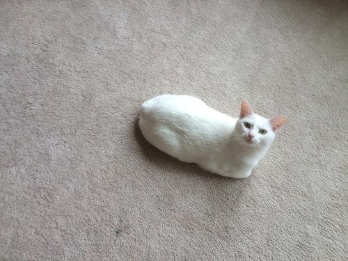 猫の「香箱座り」をパンの塊という理由06