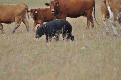 クマと牛の戦い05