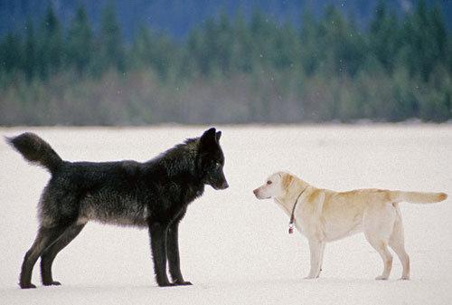 ラブラドールとオオカミ01
