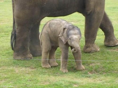 赤ちゃんゾウと鼻02
