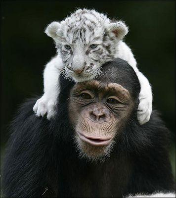 ホワイトタイガーの赤ちゃんとチンパンジー08