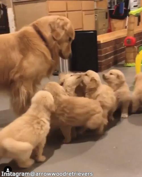 子犬たちのお世話の大変さがよくわかる動画01