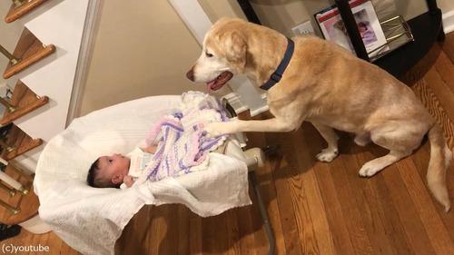 赤ちゃんのゆりかごを揺する犬03