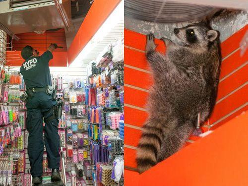ニューヨーク警察とアライグマ05
