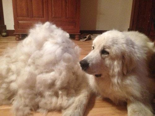 犬の毛変わり09