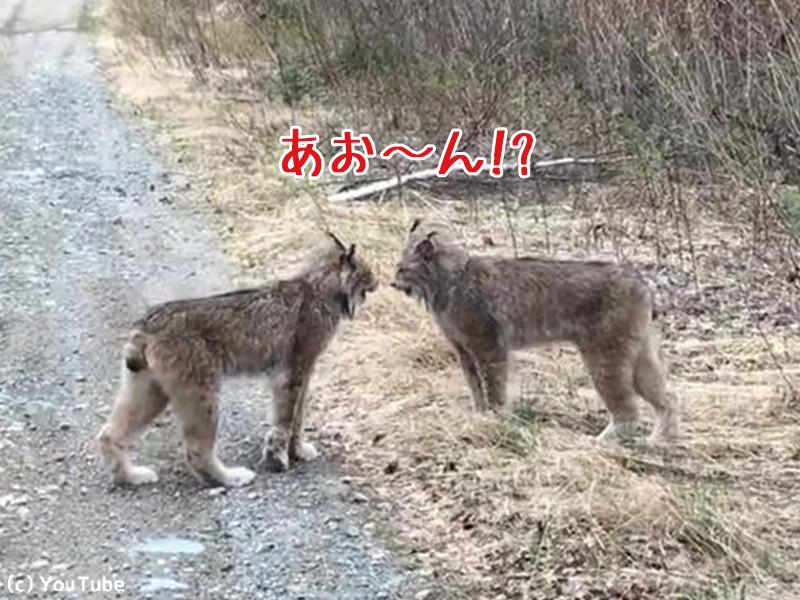 オオヤマネコ2匹がケンカすると…ああ、やっぱり猫だ(動画)
