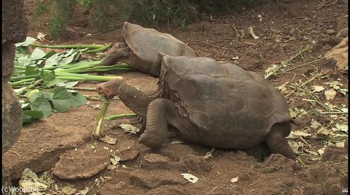 絶滅を救ったガラパゴスの「絶倫」亀が引退05