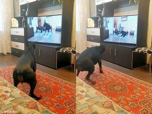 動画を見てエクササイズする犬02