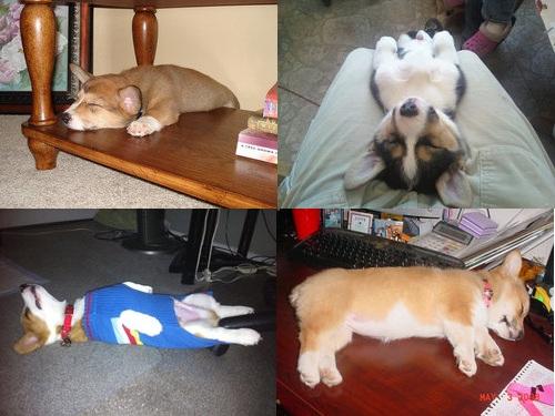 寝てるコーギー犬00