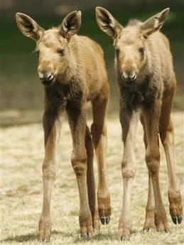 ヘラジカの赤ちゃん07