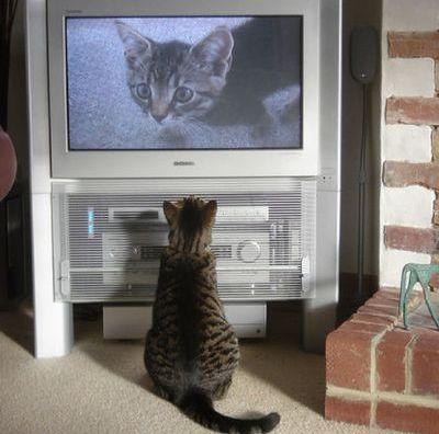 猫の番組を見つめる猫01