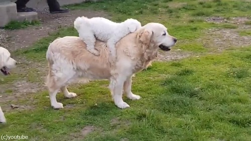 背中に乗るのが好きな子犬04