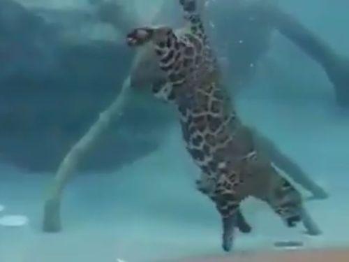 ジャガーの泳ぎ02