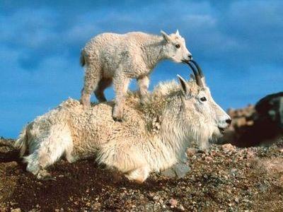 ヤギの崖を登る能力00