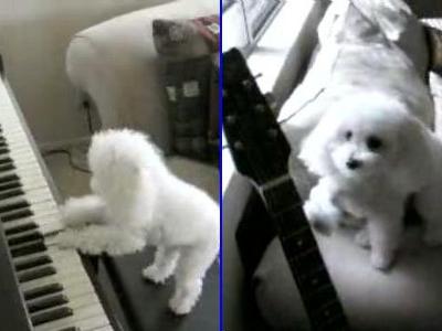 ピアノとギターを弾くプードル