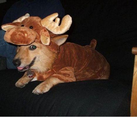 コーギー犬コスプレ21