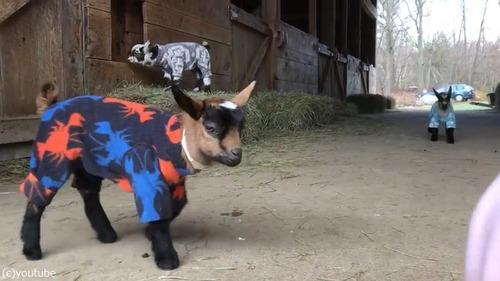 赤ちゃんヤギたちのパジャマパーティー04