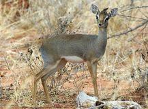 7.キルクディクディク(Kirk's dik-dik antelope)