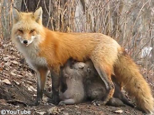 なんという母性!小熊にお乳をあげるキツネ00