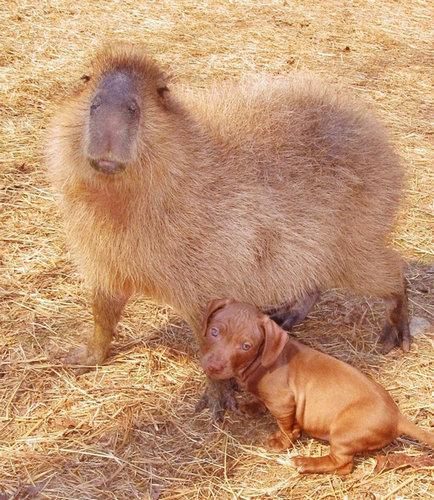 子犬を育てるカピバラ02