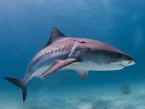8歳の少年が300kg超えの巨大ザメを釣り上げる…オーストラリア