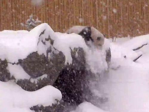 雪にはしゃぐパンダ01