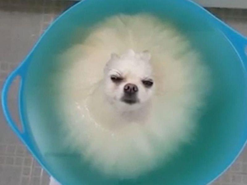 入浴中のポメラニアン