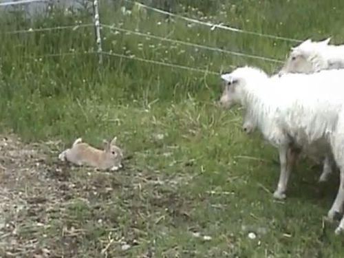 牧羊うさぎ