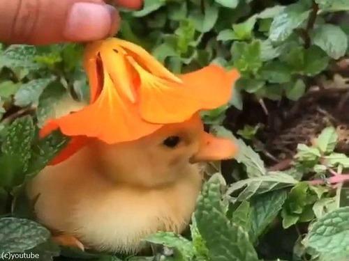 花の帽子をかぶったアヒルの赤ちゃん00